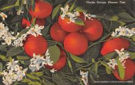 sub064421 - Orange Groves Post Card