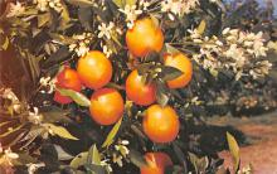 sub064429 - Orange Groves Post Card