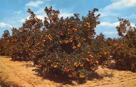 sub064431 - Orange Groves Post Card