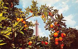 sub064447 - Orange Groves Post Card