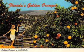 sub064453 - Orange Groves Post Card
