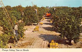 sub064455 - Orange Groves Post Card