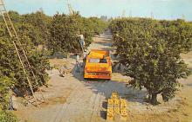 sub064461 - Orange Groves Post Card