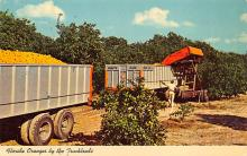sub064479 - Orange Groves Post Card