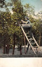 sub064481 - Orange Groves Post Card