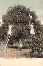 sub064483 - Orange Groves Post Card