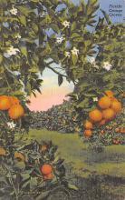 sub064495 - Orange Groves Post Card