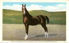 spo021002 - Nasik, an imported Stallion Owned by W.K. Kellogg Arabian Horse Ranch, Horse Racing, Trotters,  Postcard Postcards