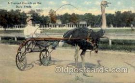 spo050001 - Ostrich Race Track, postcard postcards