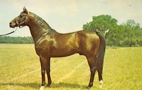 spof021466 - Florida's leading Stallion, Rough'n Tumble, winner of the Santa Anita Derby, Horse Racing, Trotters, Postcard