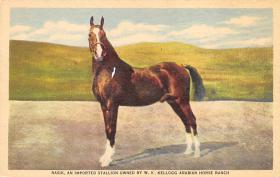 spof021528 - Nasik an imported  Stallion  Horse Racing Postcard