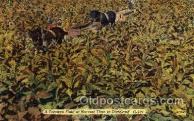 Tobacco Field at Harvest Time in Dixieland