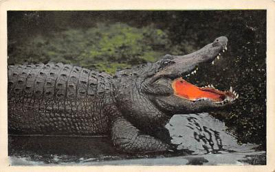 top006529 - Alligator Post Card