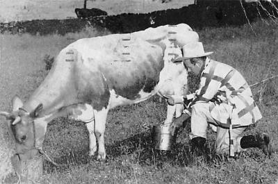 top008607 - Cows
