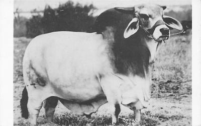 top008609 - Cows