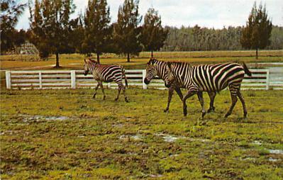 top008729 - Zebra