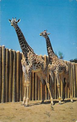 top008813 - Giraffe