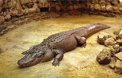 top008935 - Alligators