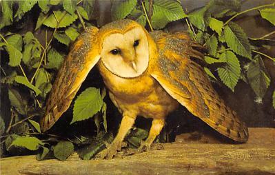 top009257 - Owl