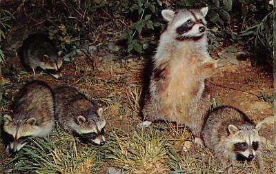 top009681 - Raccoons