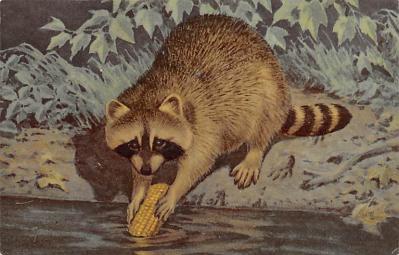 top009683 - Raccoons