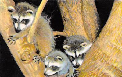 top009689 - Raccoons