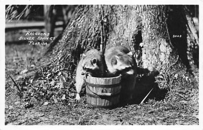 top009691 - Raccoons