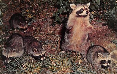 top009697 - Raccoons