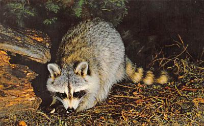 top009699 - Raccoons