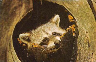 top009703 - Raccoons