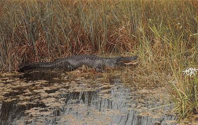 top009799 - Reptiles/Alligator