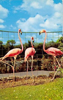top010039 - Flamingos