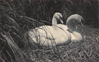 top010145 - Swans