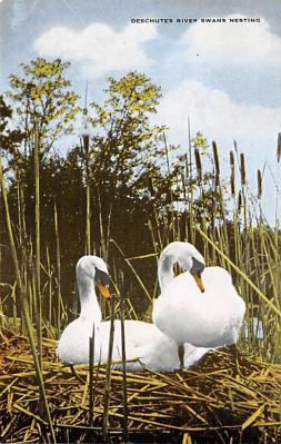 top010151 - Swans