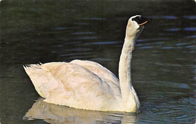top010157 - Swans