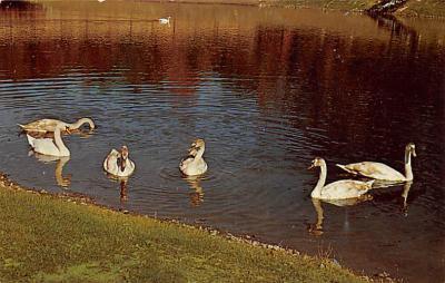 top010183 - Swans