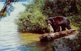 top002819 - Bear Post Card