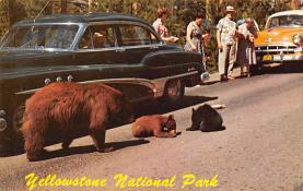 top002831 - Bear Post Card
