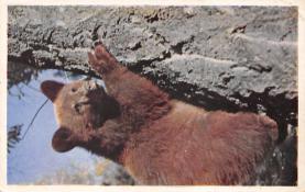 top002837 - Bear Post Card