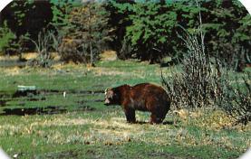 top002839 - Bear Post Card
