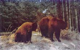top002841 - Bear Post Card