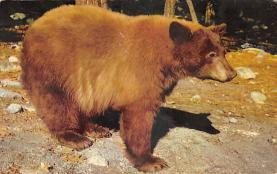 top002853 - Bear Post Card