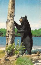 top002973 - Bear Post Card