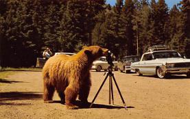 top002975 - Bear Post Card