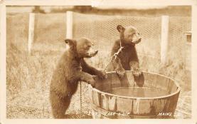 top003029 - Bear Post Card