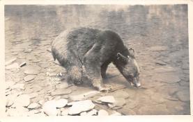 top003037 - Bear Post Card