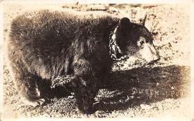top003039 - Bear Post Card