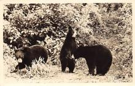 top003041 - Bear Post Card