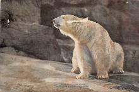 top003111 - Bear Post Card