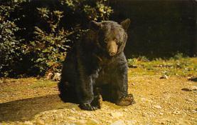 top003149 - Bear Post Card